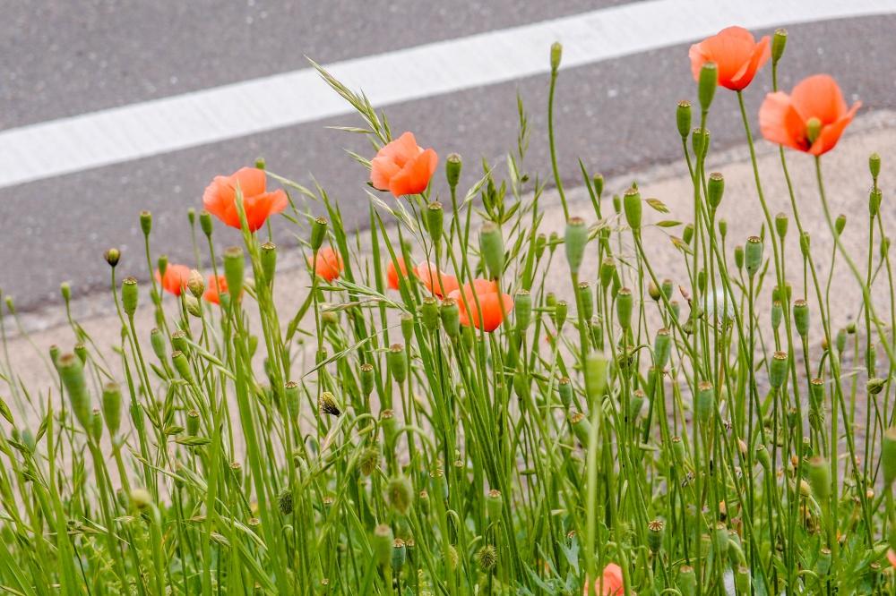 ケシの花 オレンジ色