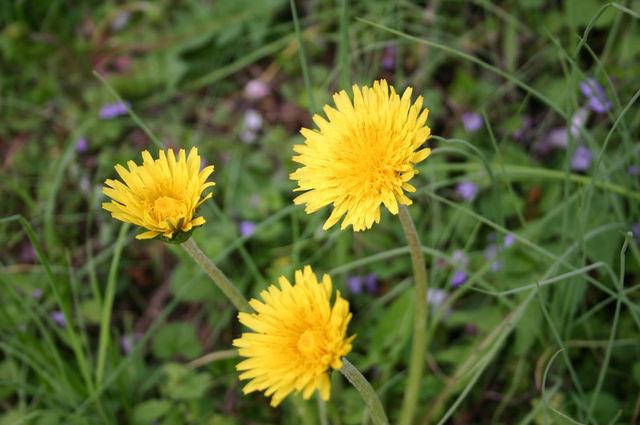 ニホンタンポポの花