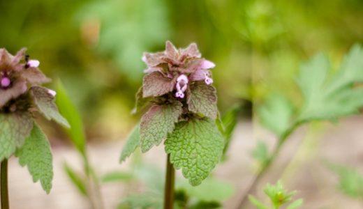ヒメオドリコソウ - 春に小さいピンクの花咲く野草(雑草)