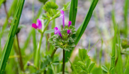 ホトケノザ - 春に薄紫やピンクの細長い筒状の花を咲かせる野草