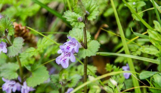カキドオシ - 春に斑点模様がる薄紫の花を咲かせる野草
