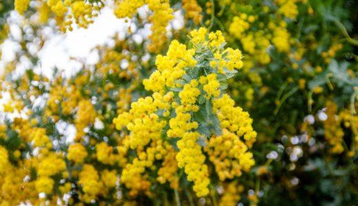 ギンヨウアカシア(ミモザ)- シダのような葉っぱで春に黄色い花が咲く木