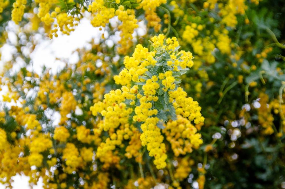 ギンヨウアカシアの花(ミモザ)