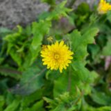 黄色いノゲシの花