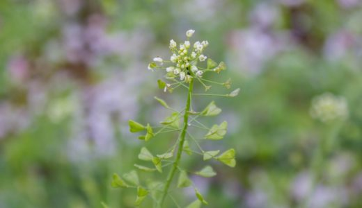 ナズナ - 春に小さい白い花を咲かせハート型の葉っぱが特徴の野草