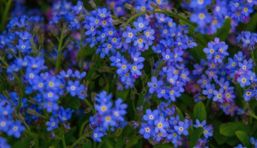 ワスレナグサ - 春に小さい可愛い青い花を咲かせる園芸用花