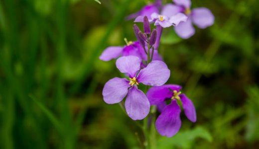 オオアラセイトウ - 春に野原などで紫色の十字型の花を咲かせる野草