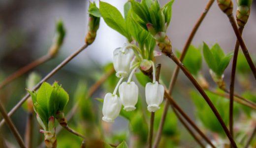 ドウダンツツジ - 春に壺を逆さまにしたような白い花を沢山咲かせる低木