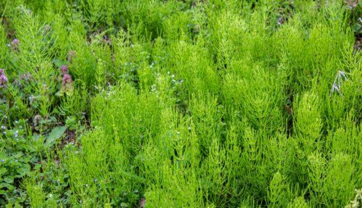 【春の豆知識】スギナってツクシの第2形態だって知っていましたか?