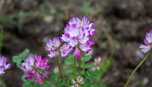 レンゲソウ(ゲンゲ)- 春に田んぼや野原でみかける紅紫やピンクの花