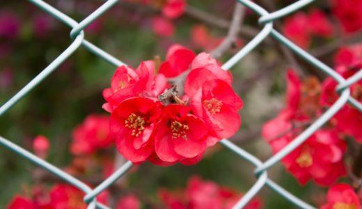 ボケ - 春に赤い花を咲かせる樹木で瓜に似た実をつけるので木瓜(ボケ)