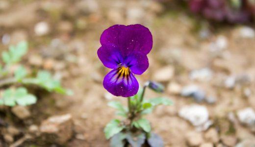 スミレ - 春にパンジーに似た紫色の小さい花を咲かせる