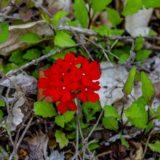 バーベナの花(花手毬)