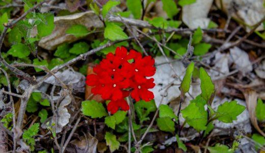 バーベナ - 春夏秋にギザギザ葉っぱで品種によって様々な色の花を咲かせる
