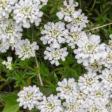 イベリスの花