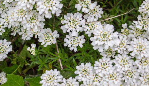 イベリス - パッチワークみたいに規則的な白い花びらが美しい春の花