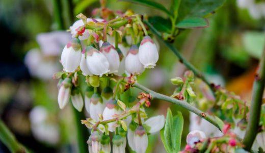 ブルーベリーの花 - 春に壺を逆さまにしたような白い花を咲かせる