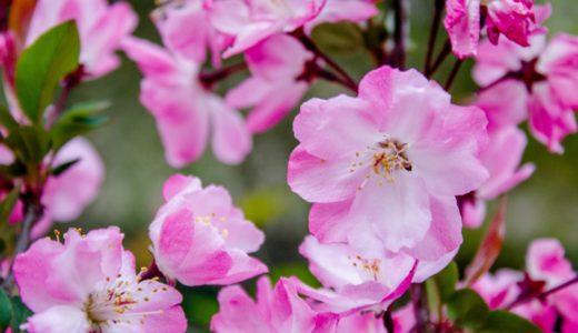 ハナカイドウ - 春に薄紅色(ピンク)の花を咲かせる落葉高木