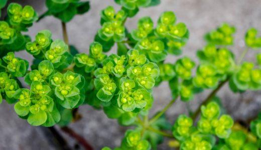 トウダイグサ - 春に蛍光色の鮮やかな黄緑色の葉をつける野草(雑草)