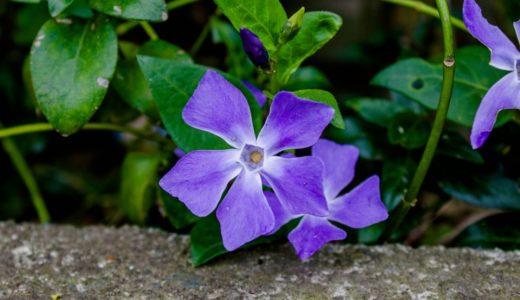 ツルニチニチソウ - 春に紫色の花を咲かせる 花びらはひし形で5枚