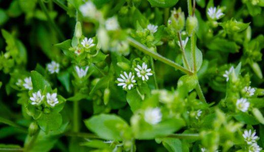 ハコベ - 春の野原、足元に数ミリの小さい白い花を咲かせる野草(雑草)