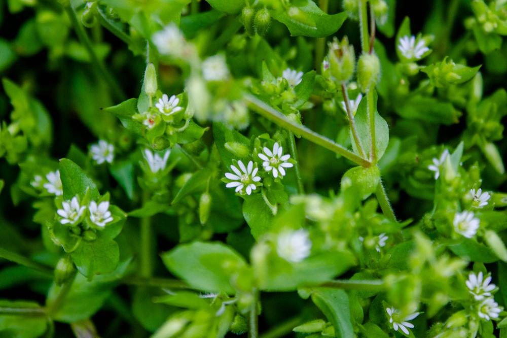 ハコベの白い花