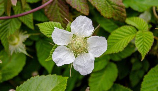 クサイチゴ - 春にしわしわの白い花をさかせ、甘い果実をつける野イチゴ