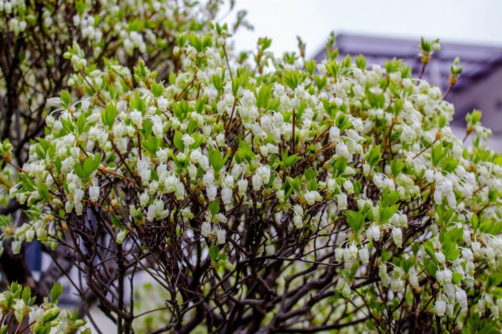 咲きほこるドウダンツツジ