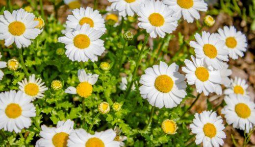 ノースポール - 春に白い花を咲かせるキクの仲間(マーガレットに似ている)