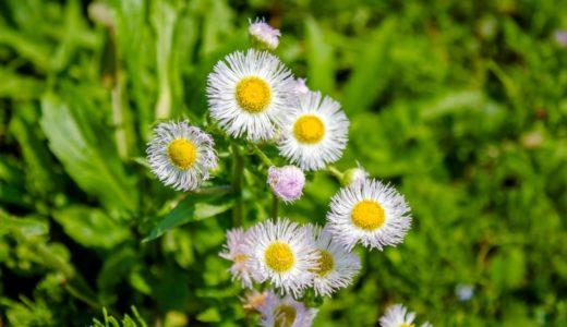 ハルジオン - 春に白い花を咲かせる通称びんぼうぐさ。ヒメジョオンと間違えられる
