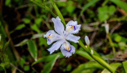 シャガ - エンブレムまたは蝶のような薄紫の花を咲かせる春の花