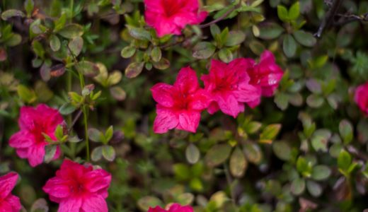 キリシマツツジ - 子どもの頃蜜を吸ったよね?赤や白やピンクの春の花