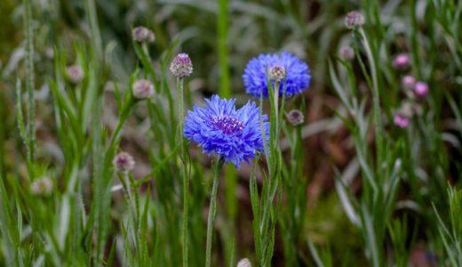 ヤグルマギク - 一輪咲きが渋い!青や白やピンクの花を咲かす菊の仲間