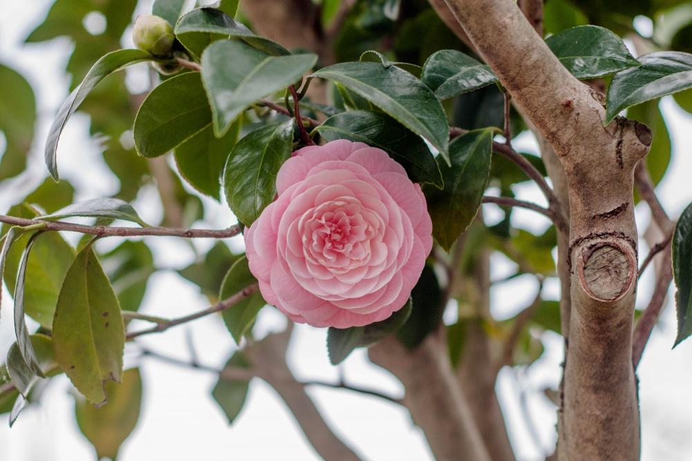 椿の花(千重咲き)