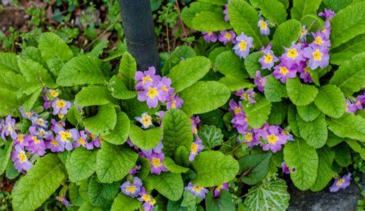 プリムラ - 桜の花びらに似た中央が黄色いお菓子みたいな花を咲かせる