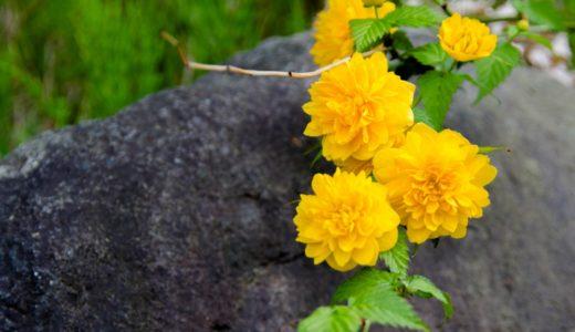 ヤマブキ - 春になると細い枝に美しい黄色い花を咲かせる太陽色の花