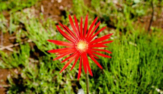ガーベラ - 春と秋に真っ赤な花を咲かせるタンポポに似た花