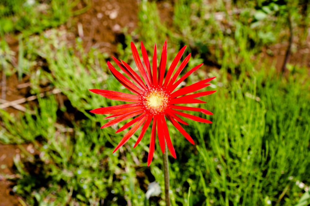 真っ赤なガーベラの花