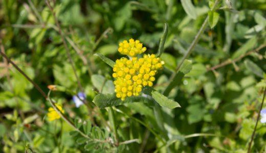 ハハコグサ - 春の七草、小さい黄色い花が沢山あるまって咲く野草