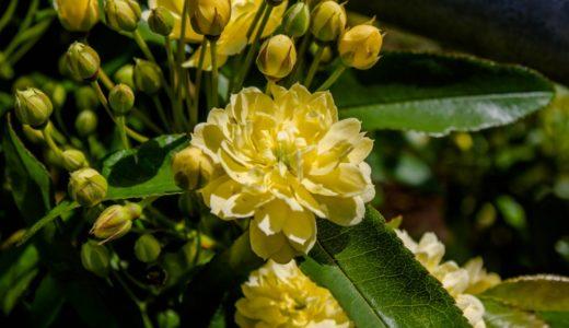 モッコウバラ - 春、庭先で可愛い白や黄色い花を低木に咲かせるバラ