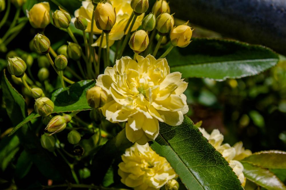 モッコウバラ(八重咲き)
