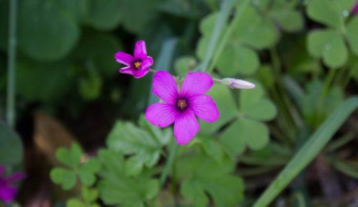イモカタバミ - 葉は三つ葉、見た目はピンクのカタバミ、春から秋の野草