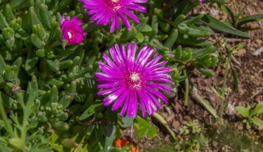 マツバギク - 春から秋に赤紫色の花を咲かせて葉がサボテンみたい