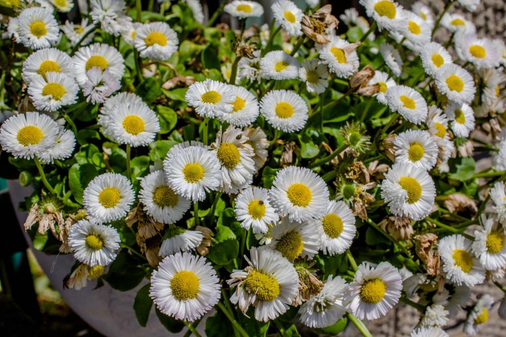 咲き乱れるヒナギク