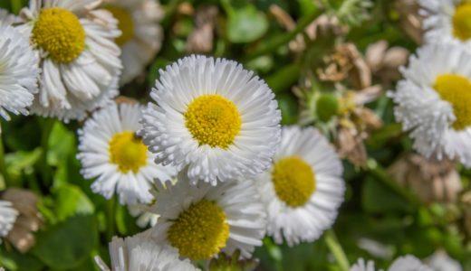 ヒナギク - 春に野原で白い可憐な花を咲かせる別名デイジー