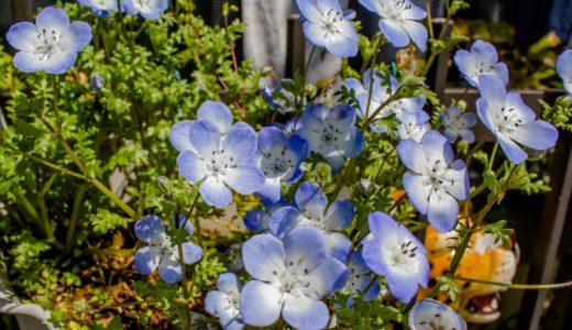 ネモフィラ – 春、空色とも瑠璃色とも言える美しい青い花を咲かせる