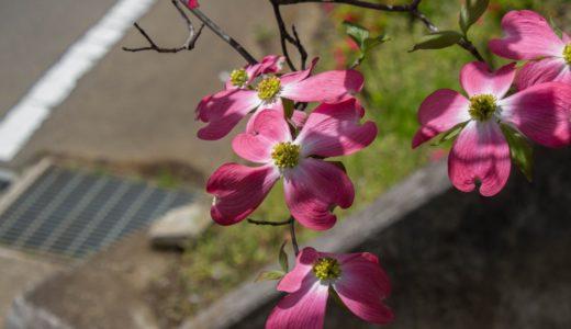 ハナミズキ - 一青窈の歌でお馴染み、樹木に薄紅色が咲く春の花