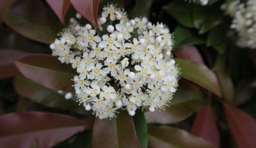 レッドロビン - 春から夏に生け垣に小さな白い花 で葉は赤と緑のメッシュ