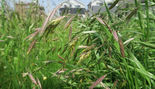 イヌムギ - 晩春から夏、野原や空き地にあらわれる麦みたいな雑草