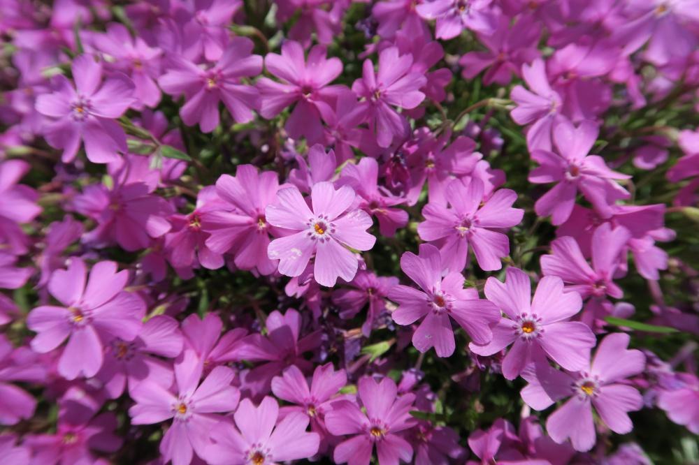 シバザクラの花